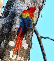 Schnäbeln von roten Aras