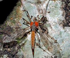 Schnake (Tipula scripta) mit Milbenbefall und ev. Pseudoskorpion  (vorne), Bild 1 *