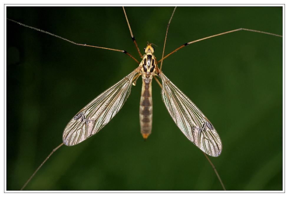 Schnake - Tipulidae - macht sich breit