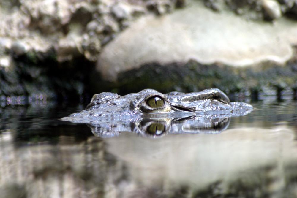 Schnappi das kleine Krokodil ( Krokodil auf der Lauer )