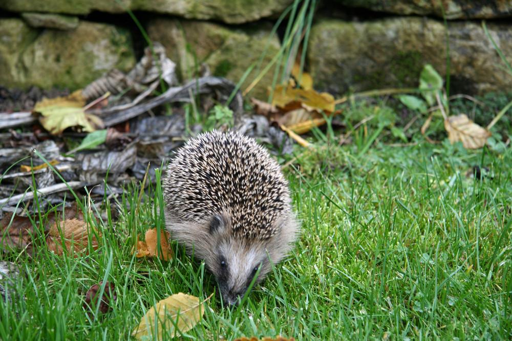 Schnarchi Unser Gartenigel Foto Bild Tiere Wildlife