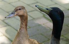 Schnatter-Enten