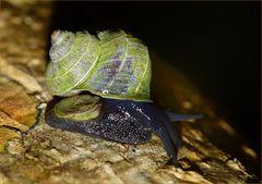 Schnecke Madagaskar