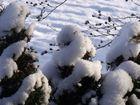 Schnee auf der Hecke
