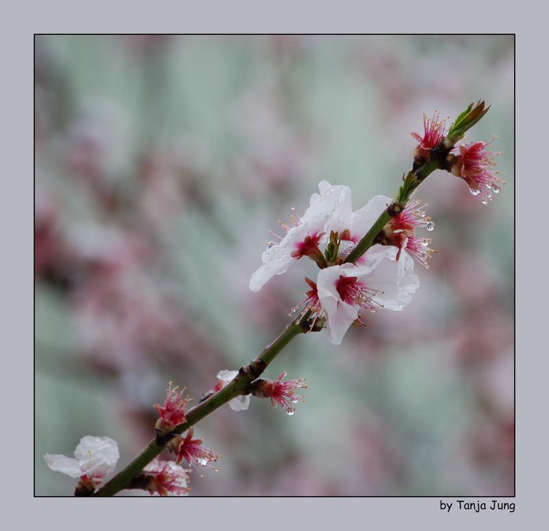 .....Schnee auf Pfirsichblüte.....