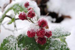 Schnee-Brombeeren