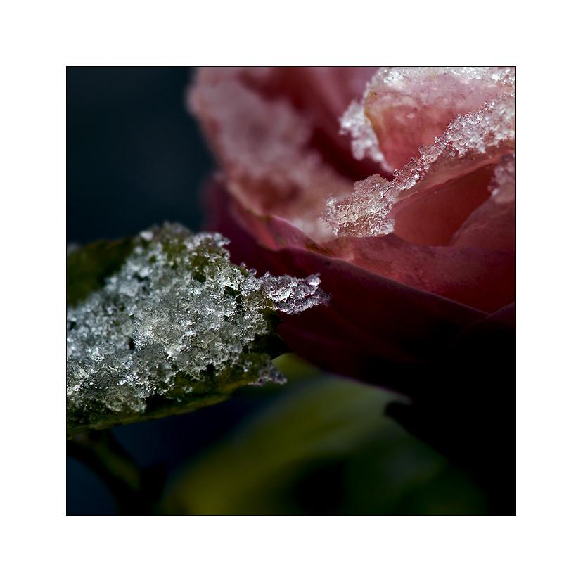 schnee, der auf rosen fällt