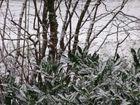 Schnee der auf Zedern fällt...