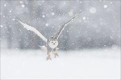 Schnee - Eule...
