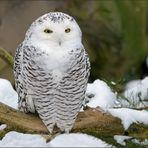 Schnee-Eule mit Schnee [2] ...