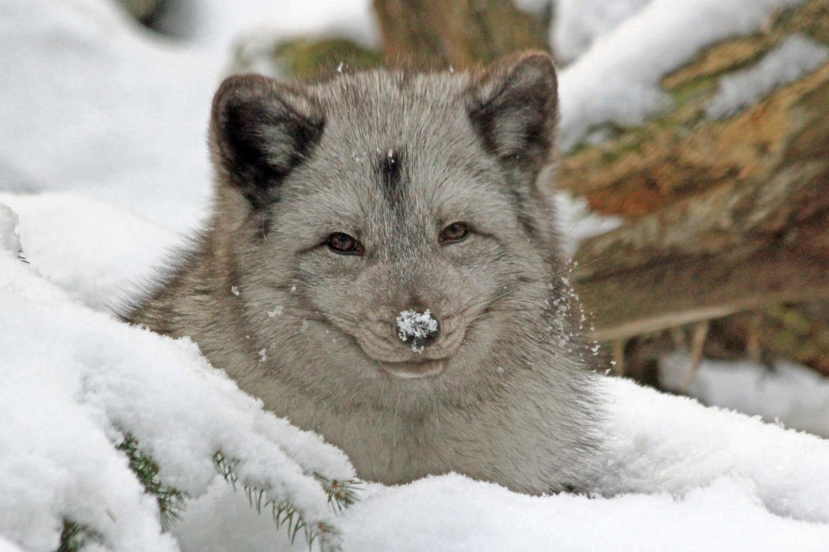 Schnee-Nase