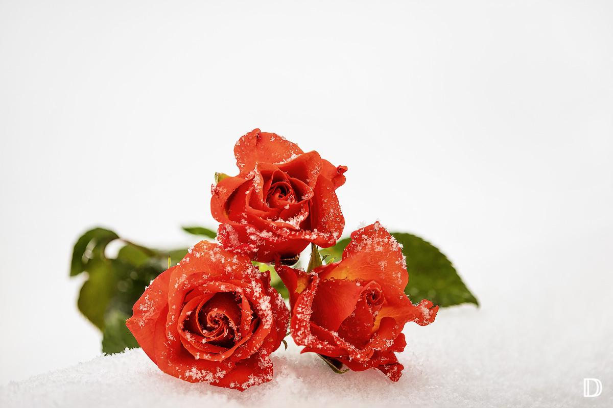 Schnee-Röschen