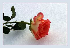 Schnee-Rose