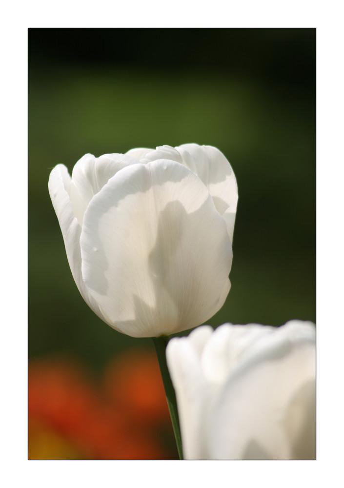 Schnee Tulpen