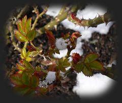 Schnee und Rosentriebe