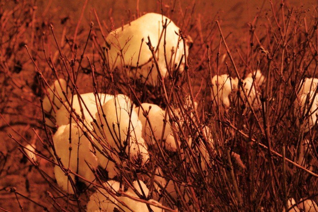Schneebälle im Gestrüpp