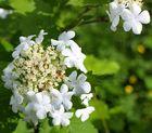 Schneeball-Blühte