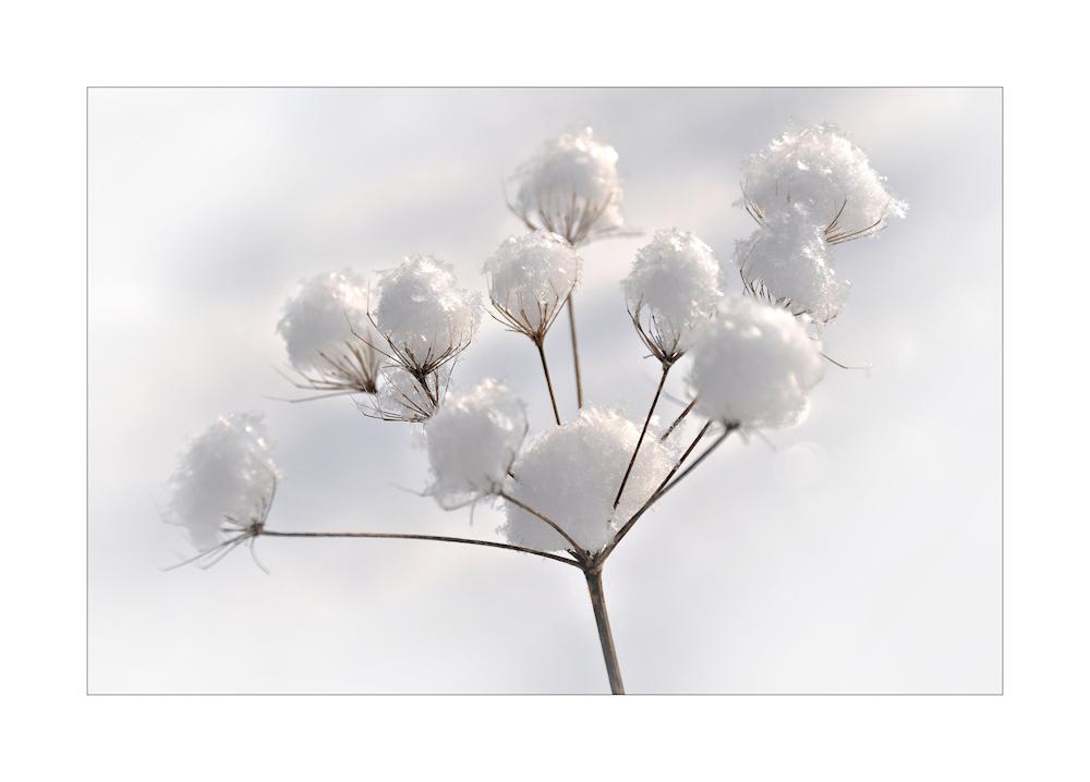 Schneeball - Blüten