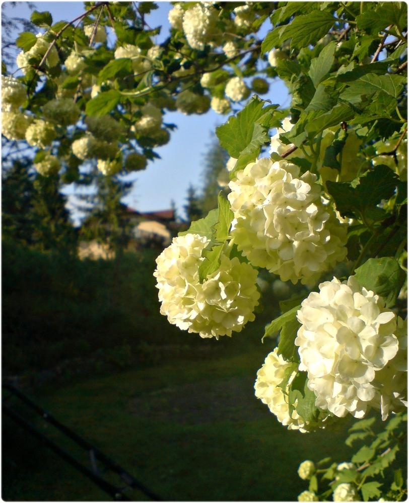 Schneeball im Garten Foto & Bild