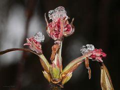 Schneeballblüten unter Eis