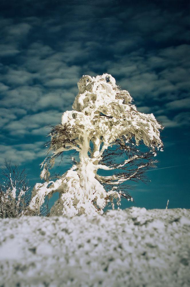 Schneebaum am Schauinsland