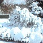 Schneebaum in meinem Garten