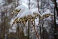Schneeblume... 2