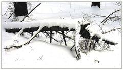 Schneeechse ( Sauria nivalis )