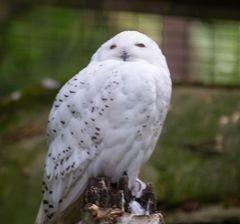 Schneeeule im Rostocker Zoo