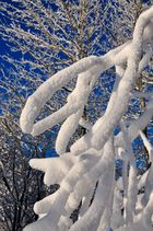 Schneegeweih