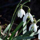 Schneeglöckchen (150311-0108-2) als erste Frühlingsboten