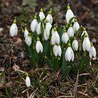 Schneeglöckchen - die ersten Frühlingsboten im Grazer Stadtpark!