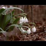 Schneeglöckchen für Julka