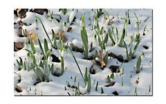 Schneeglöckchen im Februar.......
