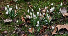 Schneeglöckchen im Grazer Stadtpark!