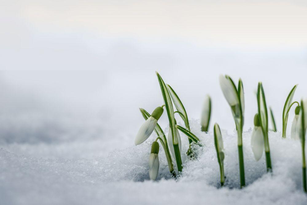 schneegl ckchen im schnee foto bild pflanzen pilze flechten bl ten kleinpflanzen. Black Bedroom Furniture Sets. Home Design Ideas