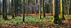 Schneeglöckchen im Wald