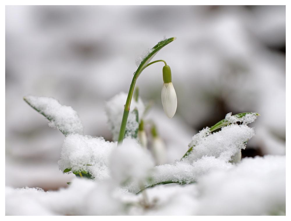 Schneeglöckchen in der Natur