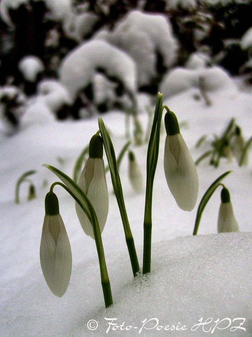 Schneeglöckchen klingelingeling, läut nun endlich den Frühling ein...