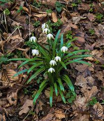 Schneeglöckchen oder Märzenbecher im Wald
