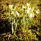 Schneeglöckchen tanken Sonne