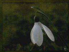 Schneeglöckchen und den Frühling….