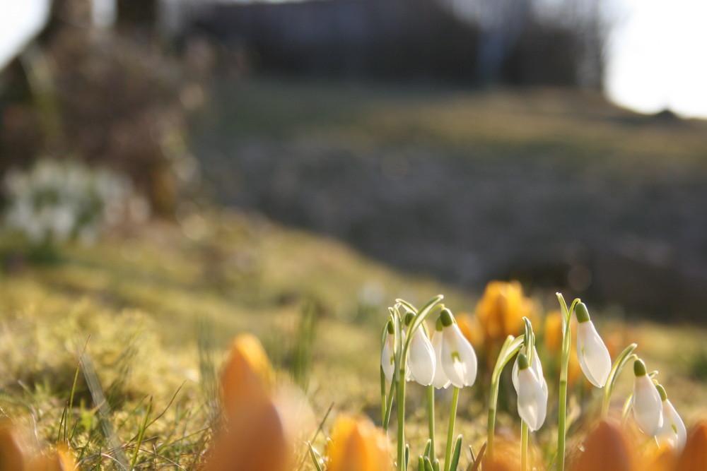 Schneeglöckchen und die ersten Sonnenstrahlen