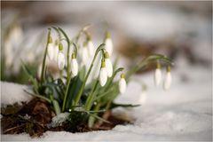 Schneeglöckchen Weißröckchen.....