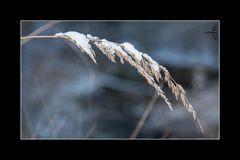 Schneegras