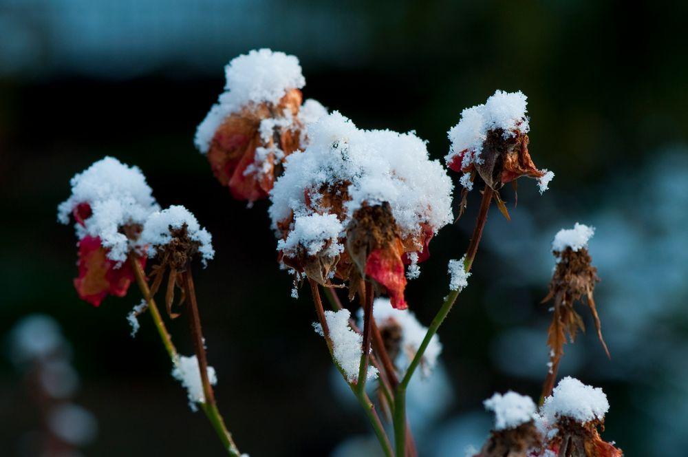 Schneehäubchen II