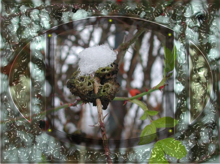 Schneehäubchen Nr. 2