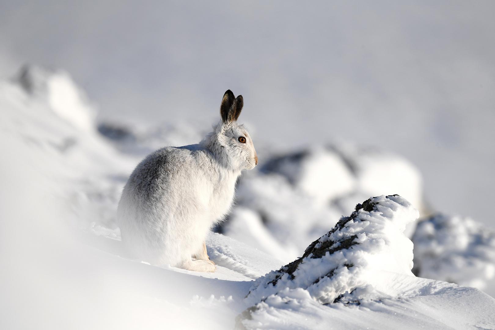 Schneehase im schottischen Hochland