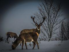 Schnee:Hirsch