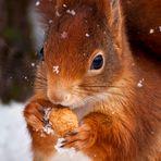 Schneehörnchen
